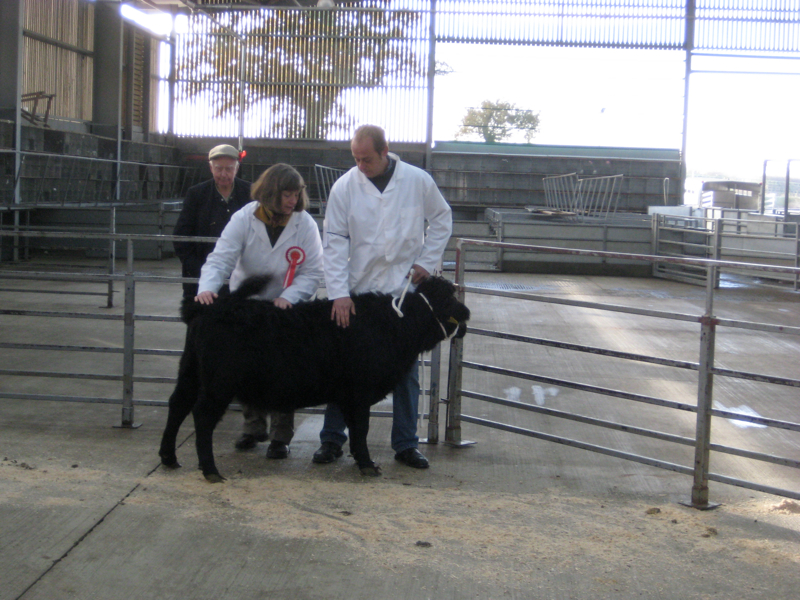 Dexter Calf Show 2012. Judges Inspection.