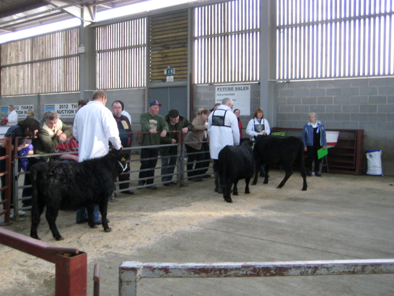 Dexter Calf Show 2012. Waiting their turn.
